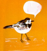 jenny robins - pied wagtail - no contact